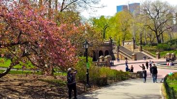 Trees in bloom around Bethesda Terrace