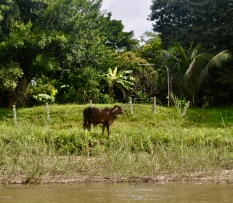 Cow on the river bank