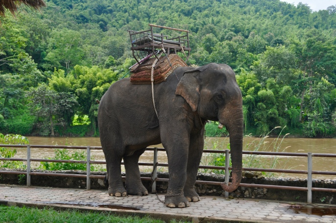 Elephant along the Mae Kok River