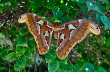 Huge moths found at the resort. The wing tips almost look like snake heads!