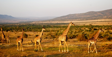 Giraffes striding across the Masai Mara