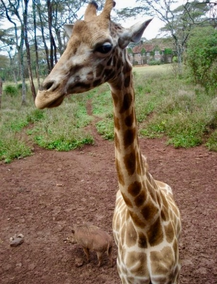 Visiting the Giraffe Centre